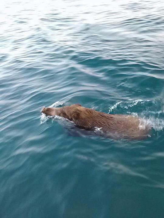この写真を見ると、福知山のうり坊も真っ青! しかし軽快に泳ぐ姿は、競泳... まねきねこ店長 &